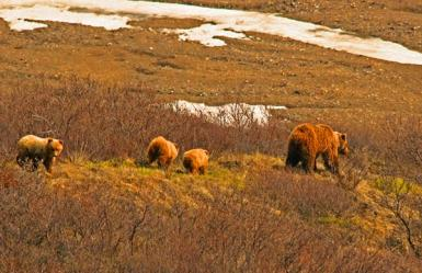 Grizzly & Her 3 Cubs