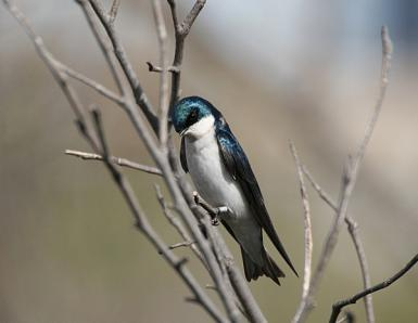 Tree Swallow Shyness