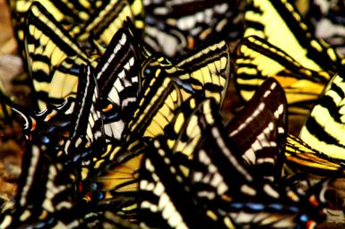 17 Swallowtails