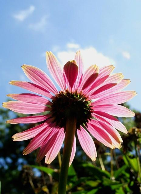 A Coneflowers View