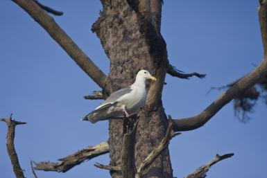 A Gull In A Pine Tree
