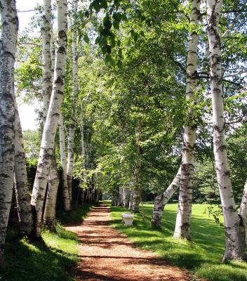 A Path Through The White Birch Trees_