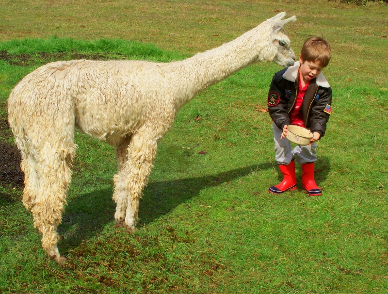 A Treat For The Alpaca