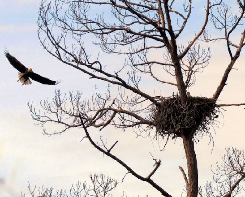 American Bald Eagle Returning To The Nest With Chicks