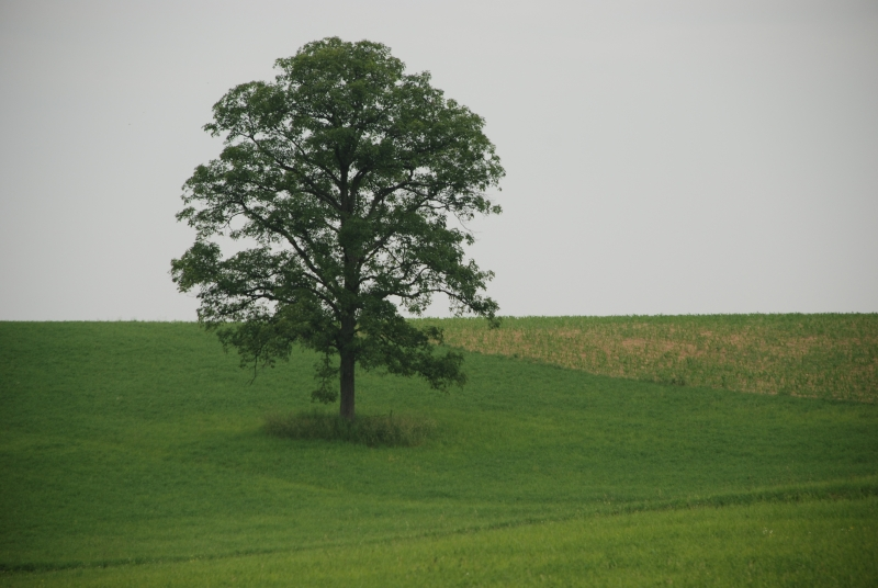 Amish Country Lonely Tree