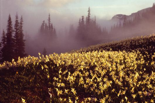Avalanche Lilies In Fog