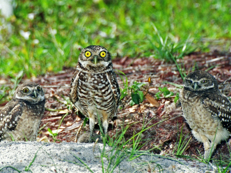 Baby Burrowing Owls