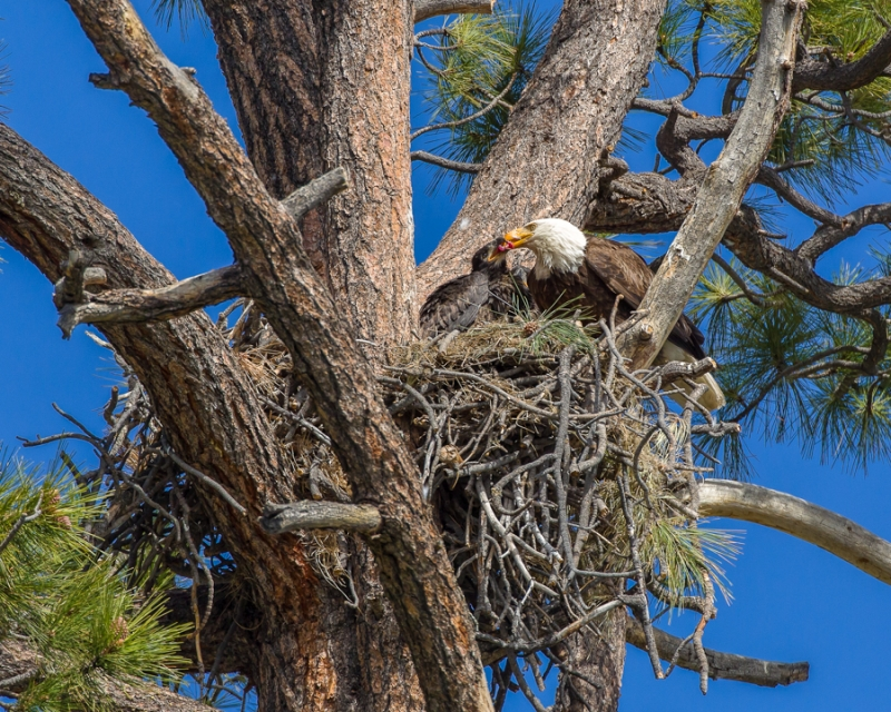 Bald Eagle An Chick