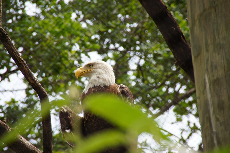 Bald Eagle At The Zoo