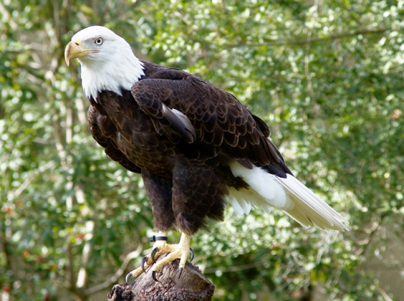 Bald Eagle Tampa Lowery Zoo