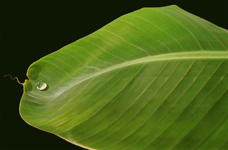 Banana Leaf With Water Drop