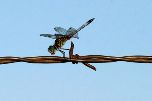 Barbed Wire Dragonfly