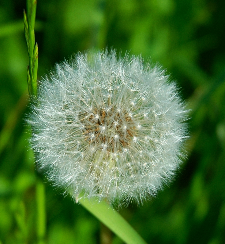 Beauty In A Dandylion