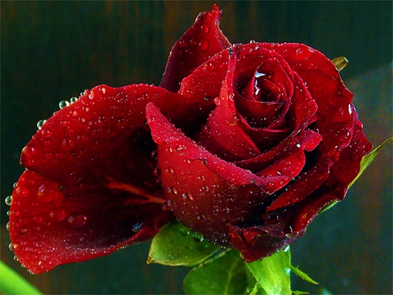 Beauty Red Rose