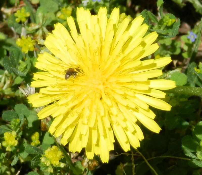 Bee In A Dandelion