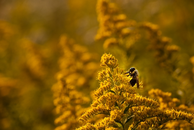 Bee On Goldenrod At Forest 44 Conservation Area