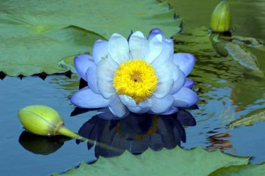 Big Blue Waterlily