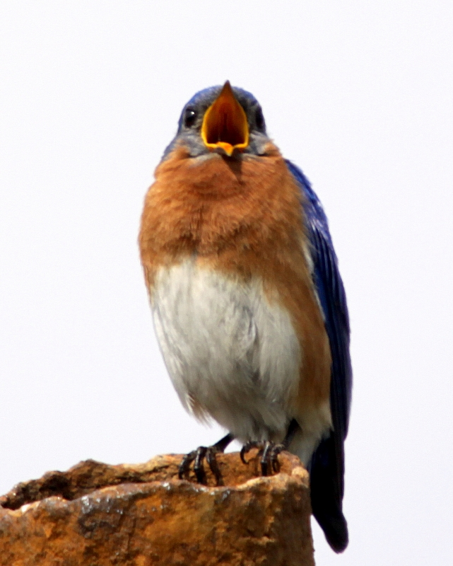 Blue Bird Singing
