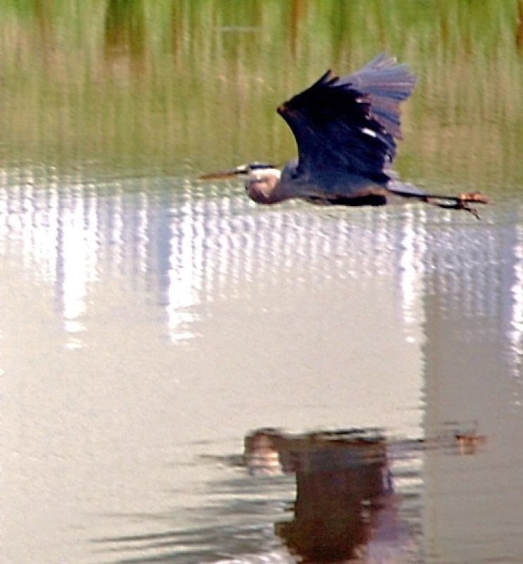 Blue Heron At Our Pond
