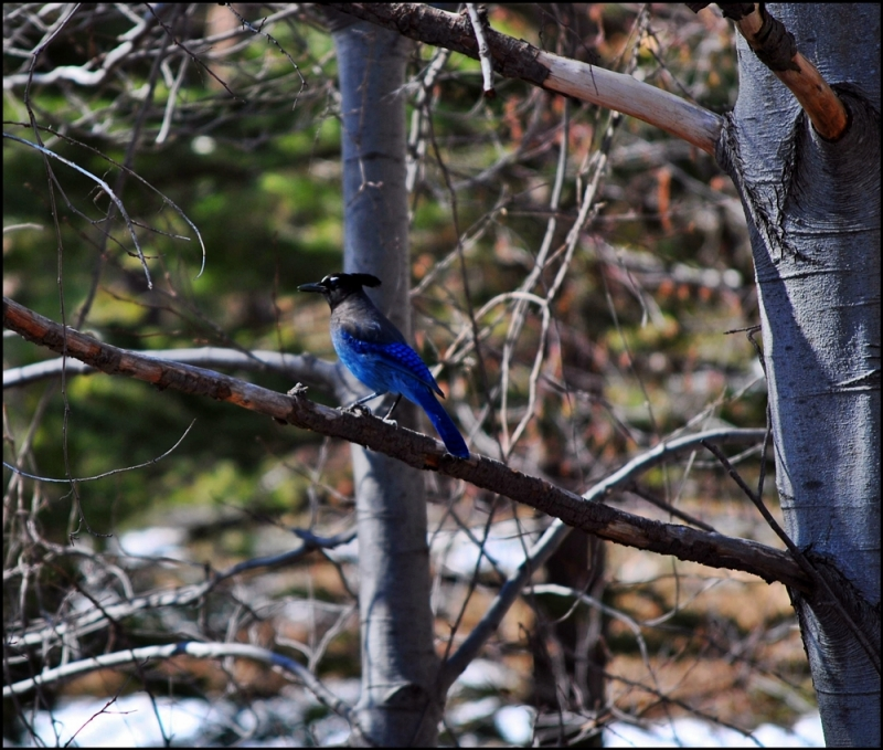Blues Jay