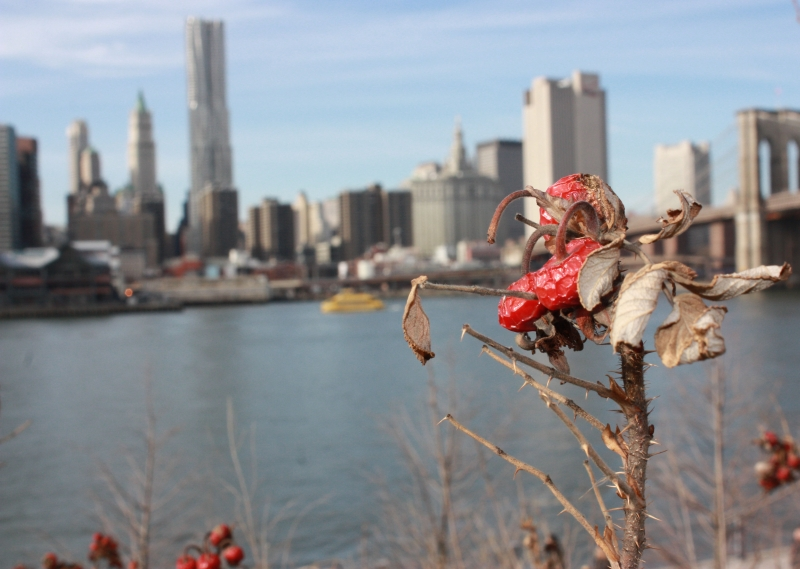 Brooklyn Rosehip