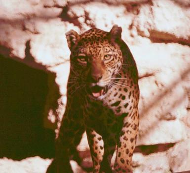 Brown Leopard