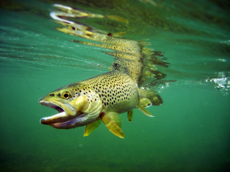 Brown Trout On The Green River