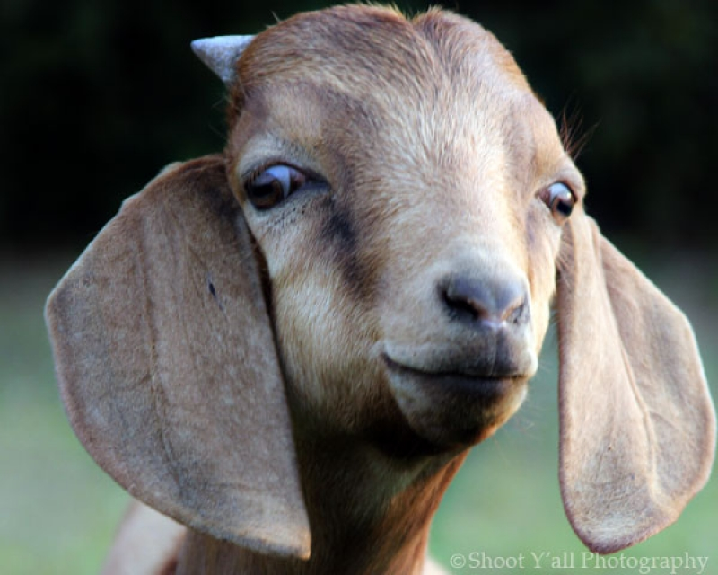 Buster The Goat