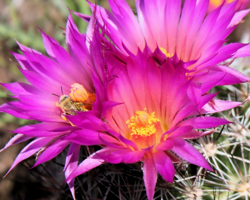 Busy Bee At A Cactus Flower