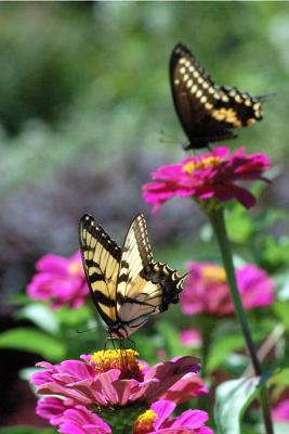 Butterflies Feast On Zinnias
