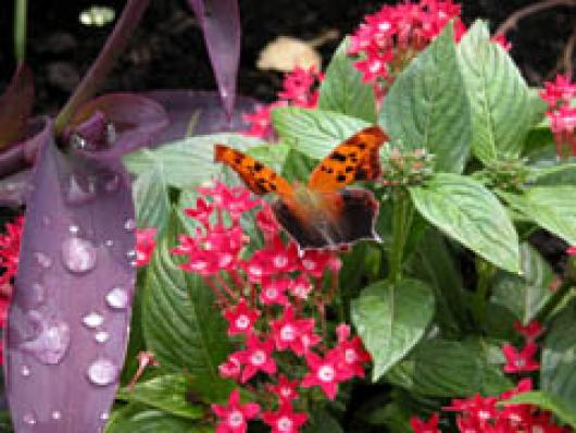 Butterfly And Morning Dew