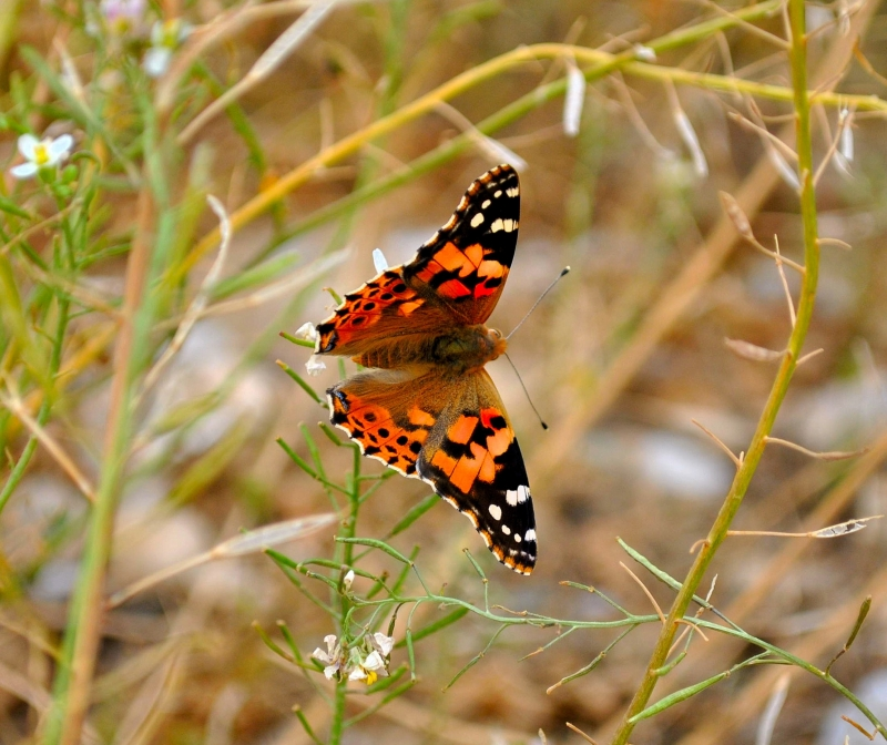 Butterfly In Iraq
