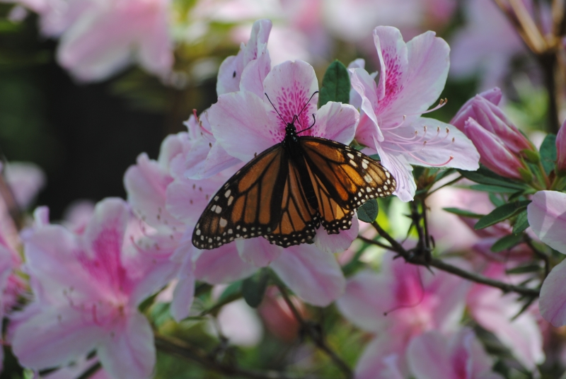Butterfly On Azalea