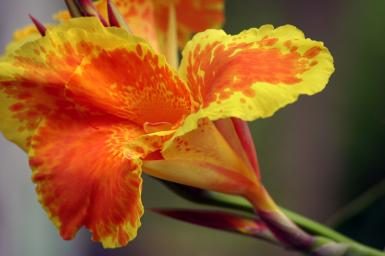 Cannas In Smithville Texas