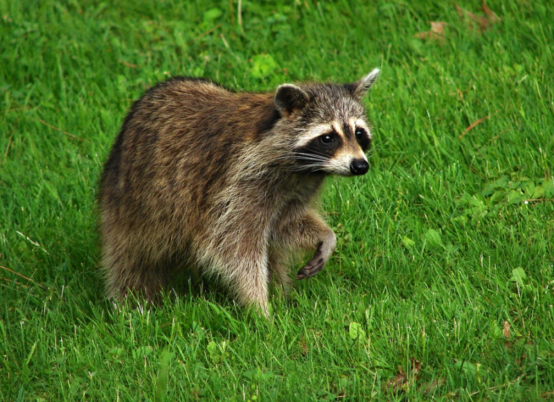 Cautious Racoon