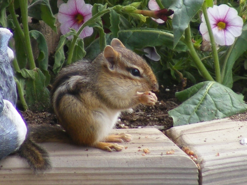 Chipmunk Having Breakfast