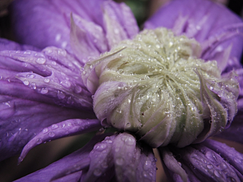 Clematis In Spring Rain