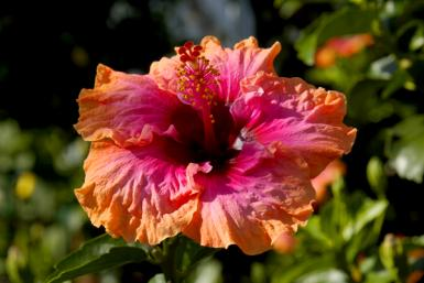 Colorful Hibiscus