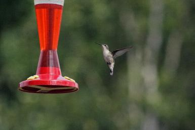 Columbia Valley Humming Bird
