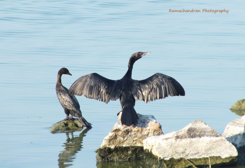 Cormorant- Love Birds.