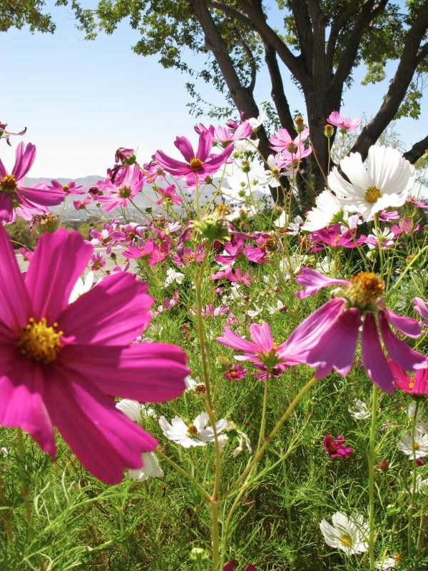 Cosmos Flowers Along A Road