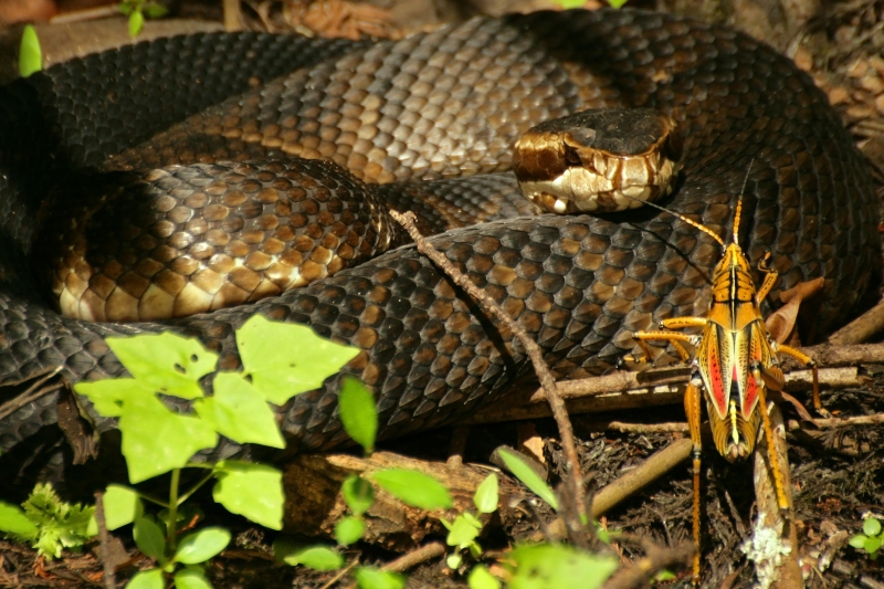 Cottonmouth And Visiting Lubber