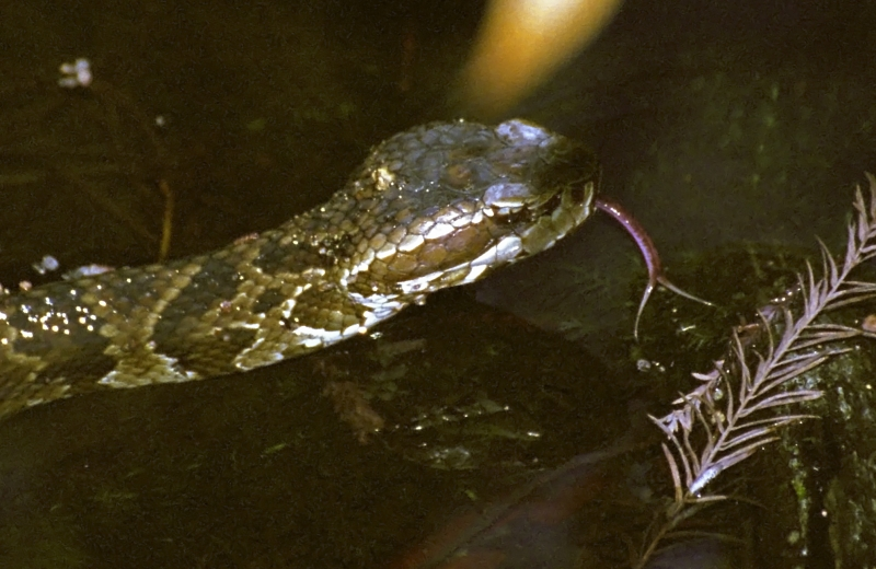 Cottonmouth Swimming