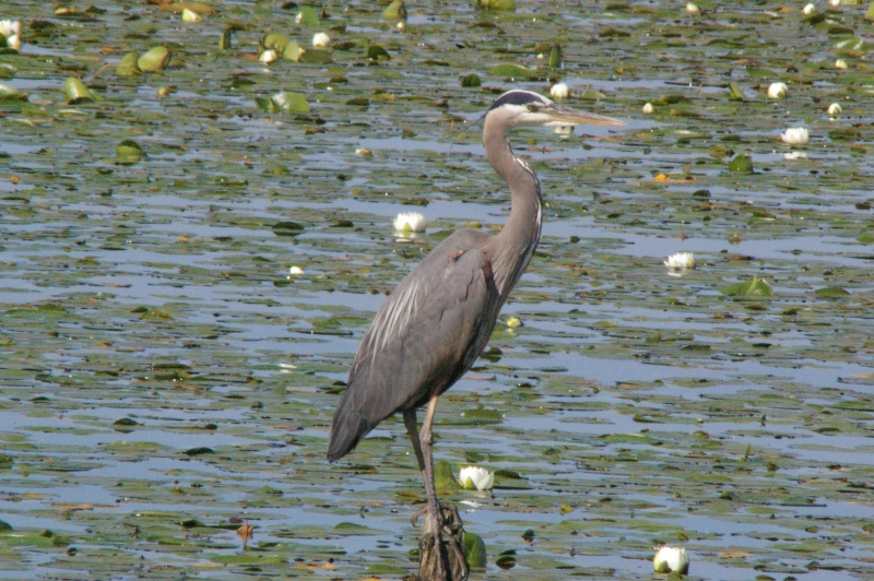 Crane In Lily Pads