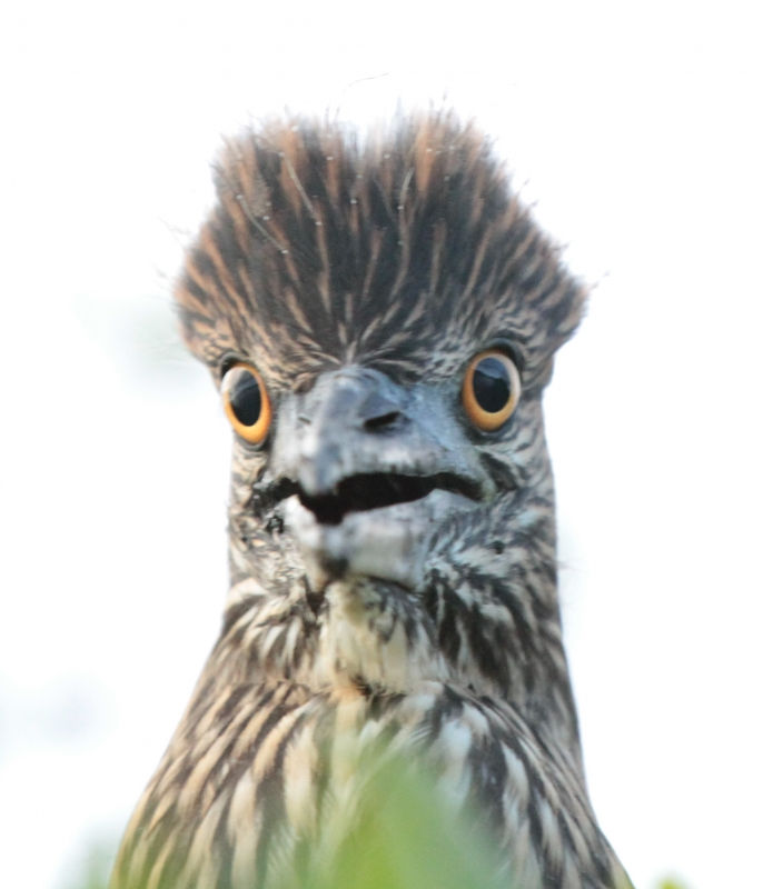 Crazy Heron Chick