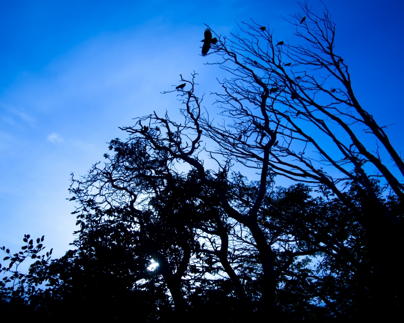 Crows In Tree, Kinnear Park