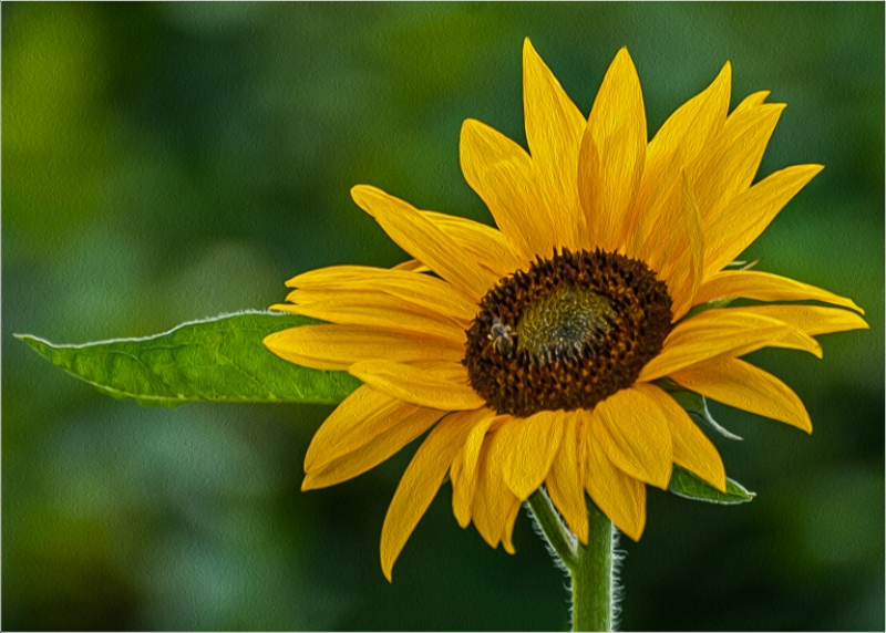 Cs6 – Oil Painted Sunflower