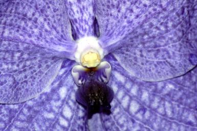Dark Blue Orchid Closeup
