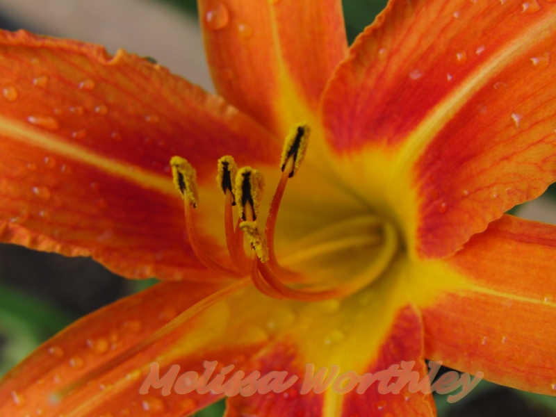 Day Lily Loves The Rain