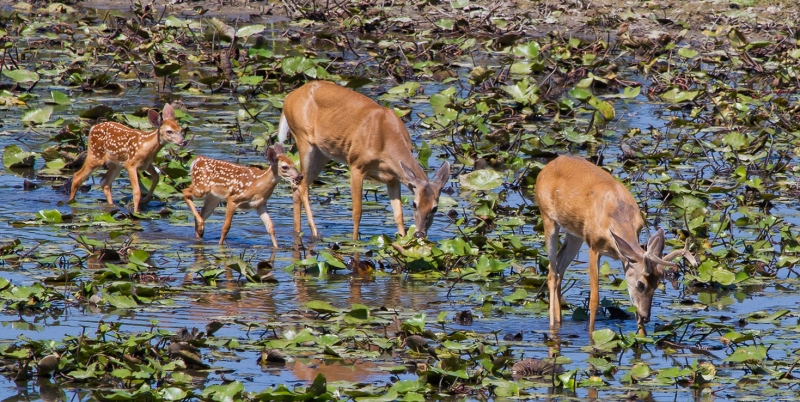 Deer Family Eating Water Lilies